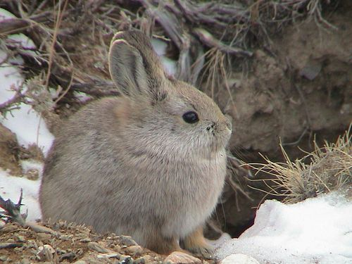 Pygmy Rabbit_Brachylagus idahoensis_ Least Concern_photographer Jim Witham