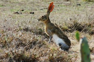 Tehuantepec_Jackrabbit_Lepus flavigularis_Endangered_photographer Arturo_Carrillo_Reyes