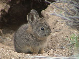 Pygmy Rabbit_juvenile_Brachylagus idahoensis_ Least Concern_photographer Jim Witham