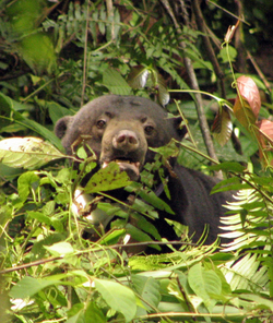 Bear_in_borneo