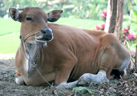 Banteng_cow_sit