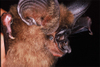 Bat_hipposideros_ridleyi