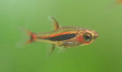 Boraras_urolphthalmoides