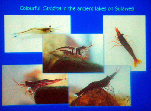 Colourful_shrimps_6