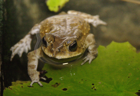 Toad_in_water