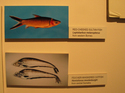 Two_sea_fishes